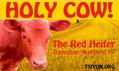 Holy cow - the red heifer